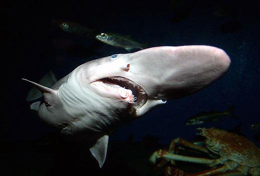 070209 goblin shark big Goblin Shark