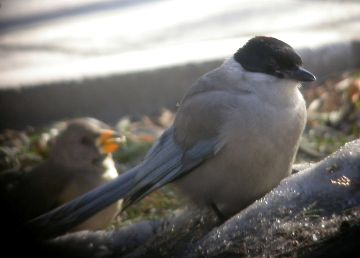 Azure Winged Magpie Azure Winged Magpie