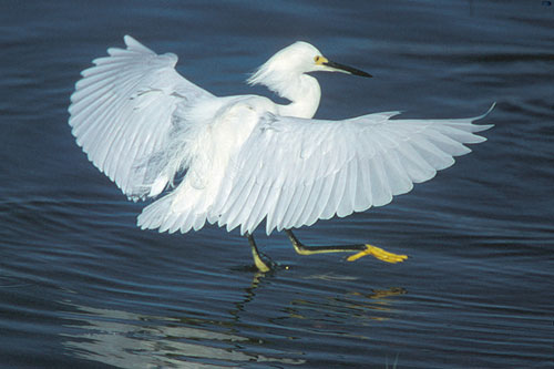 Snowy egret all about the snowy egret birds for Secret fish in tap tap fish
