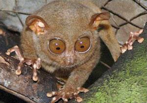 a philippine tarsier in bohol Philippine Tarsier