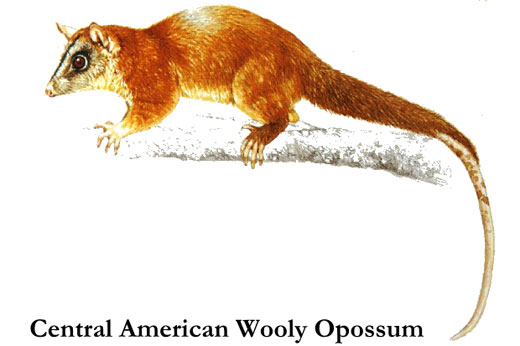 central american woolly opossum Central America Wooly Opossum