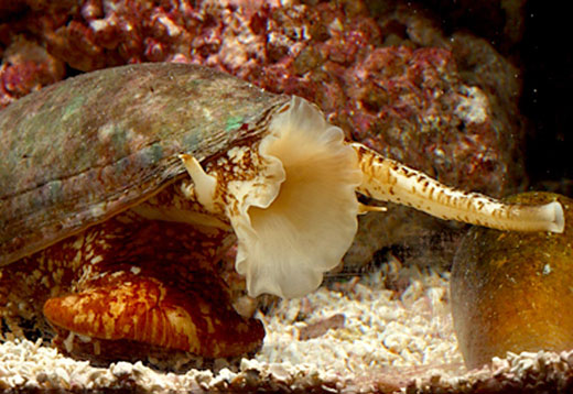 cone snail3 Cone Snail