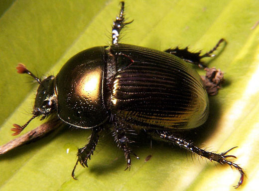 dung beetle African Dung Beetle