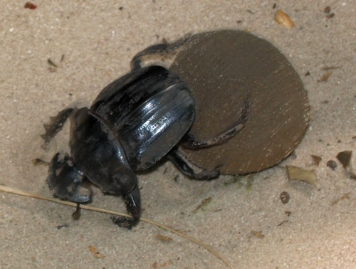 dungbeetle African Dung Beetle