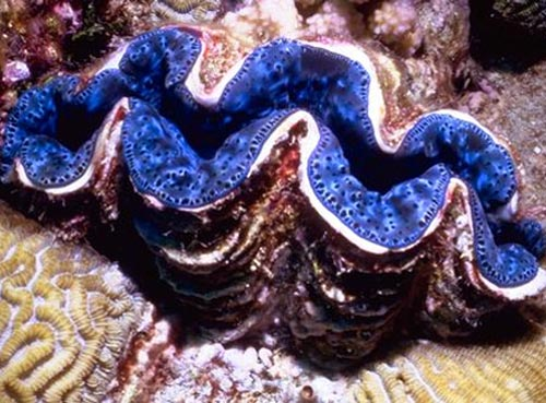 giant clam2 Giant Clam