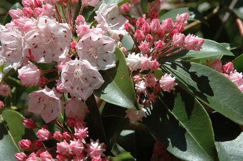 mountain laurel Mountain Laurel