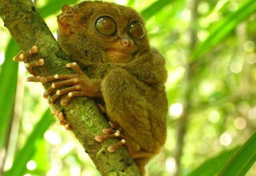 philippine tarsier Philippine Tarsier