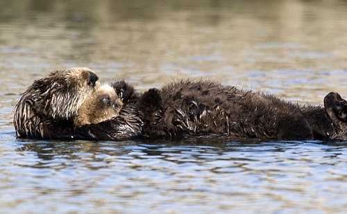 seaotterpup Sea Otter