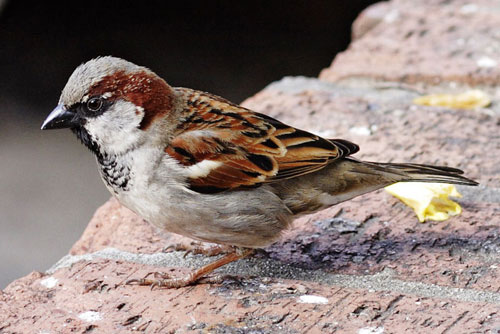 sparrow Sparrow