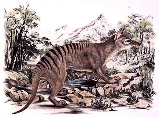 tiger drawing Tasmanian Tiger