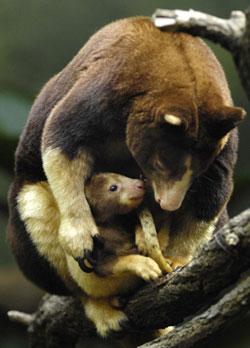 0614 jlm7968 tree kangar Tree Kangaroo