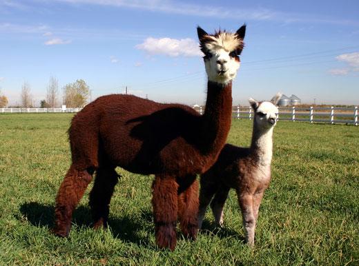 alpaca2 Alpaca
