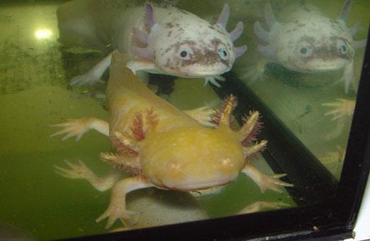 axolot2 Axolotl