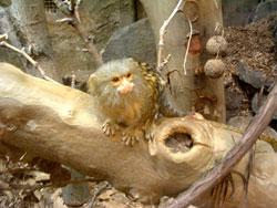 blog030607pygmy marmoset Pygmy Marmoset