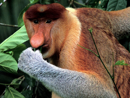 borneo proboscis monkey Proboscis Monkey