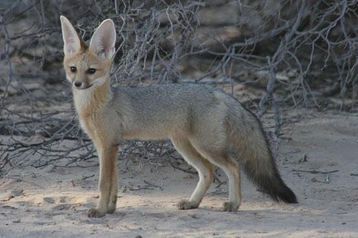 cape fox Cape Fox