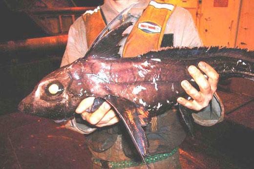 chimaera fish1 Chimaera