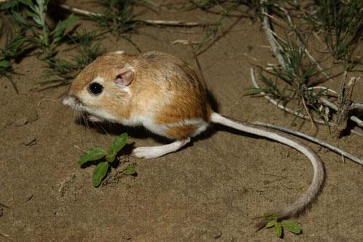 dipodomys Kangaroo Rat