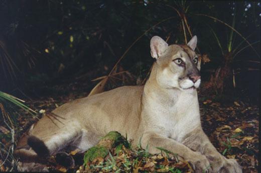 florida panther2 Florida Panther