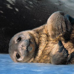 fur seal 1 Fur Seal