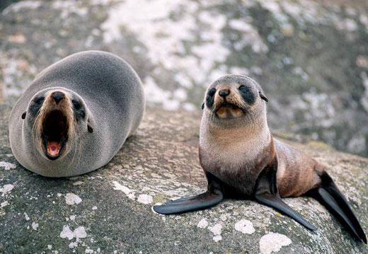 fur seal baby Fur Seal