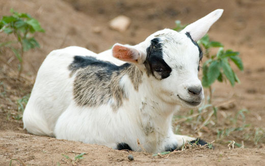 goat Sudanese Man Marries Goat