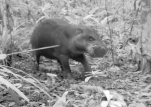 hippo Pygmy Hippopotamus Snapped in Sierra Leone