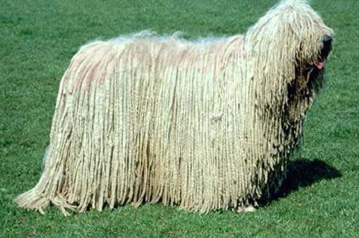 komondor dog Komondor Dog