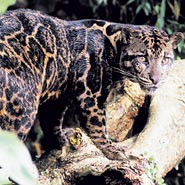 leopardcol1 149345a Bornean Big Cat