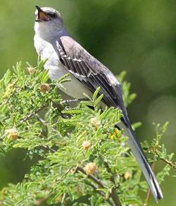 mockingbird detwiler web Northern Mockingbird