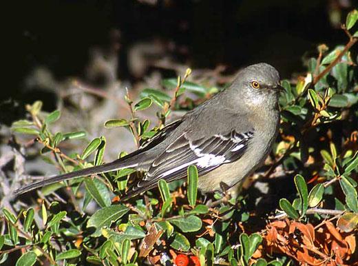 northern mockingbird 1 Northern Mockingbird