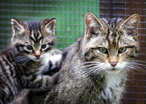 scottishwildcatkitten Scottish Wildcat