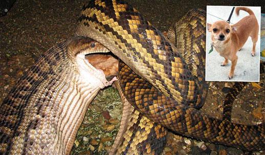 snake Snake Eats Family Dog