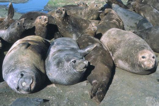southern elephant seal 1 Southern Elephant Seal