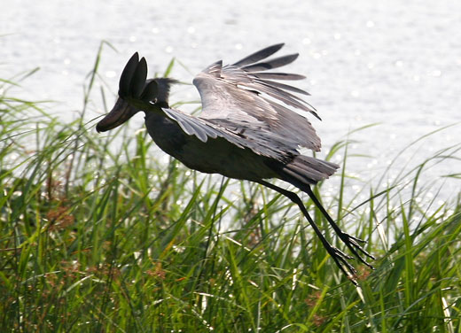 the shoebill Shoebill