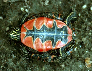 chrysemys picta painted turtle plastron The Painted Turtle