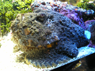 stonefish The Stinging  Stonefish