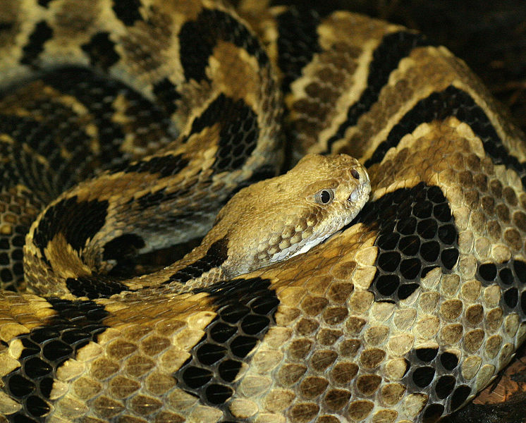 746px crotalus horridus 1 Timber Rattlesnake