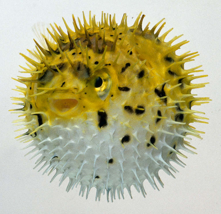 Porcupine fish fish for Porcupine puffer fish