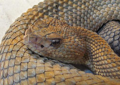 timber rattlesnake Timber Rattlesnake