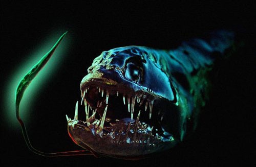 dragonfish 20 Species You Dont Want To Meet