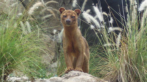 fossa1 10 Mammals You Never Knew Existed