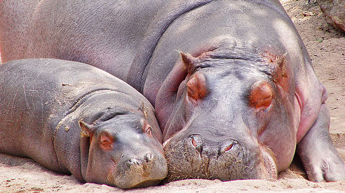 hippos1 10 Deceptively Dangerous Animals