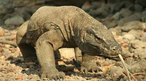 komododragon1 10 Animals You Never Knew Were Poisonous