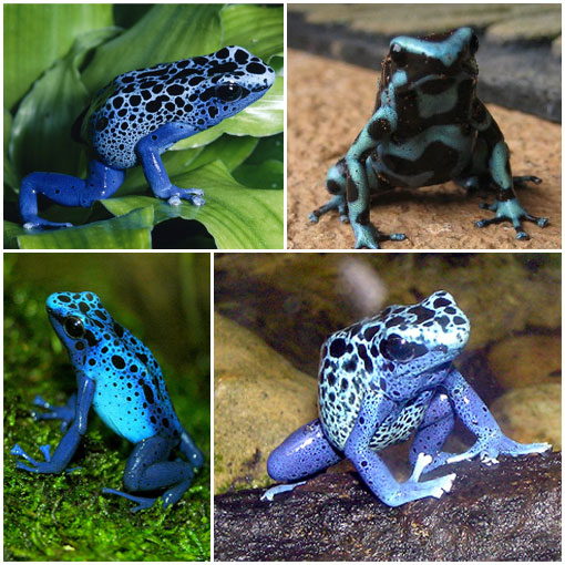 poison dart frog 4 Silent Killers of the Natural World