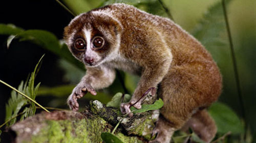 slowloris11 10 Deceptively Dangerous Animals