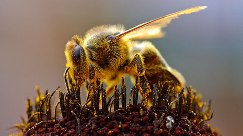 bees Top 10 Short lived Creatures