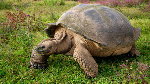 galaptortoise1 8 Creatures That Outlive Humans