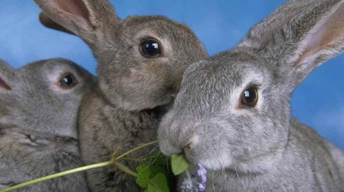 rabbits1 Top 10 Short lived Creatures
