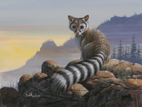 047 Ringtail Ring tailed Cat